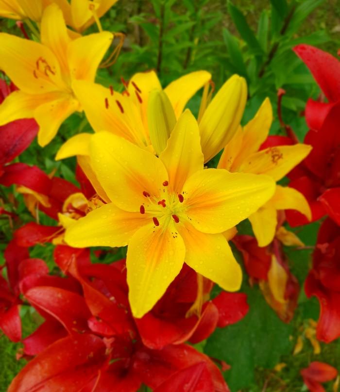 Ещё кусочек лета Лето, Цветы, Длиннопост, Samsung Galaxy S9, Фотография