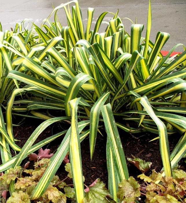 Юкка домашняя - уход, фото, размножение, цветение Юкка, Комнатные растения, Домашние цветы, Длиннопост