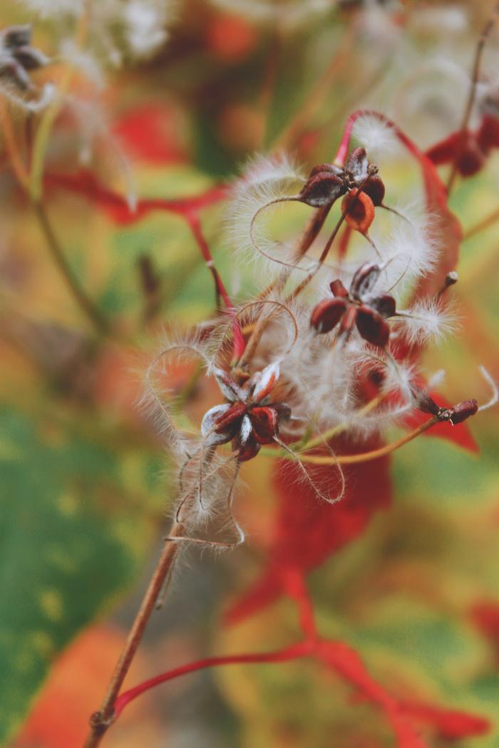 Семена клена Растения, Осень, Клен, Длиннопост