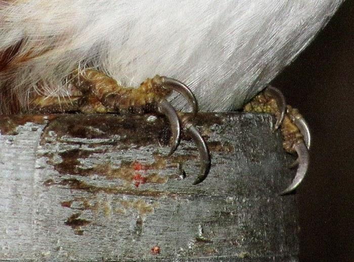 Птица со стальными когтями Птицы, Когти, Природа, Предупреждение, Длиннопост
