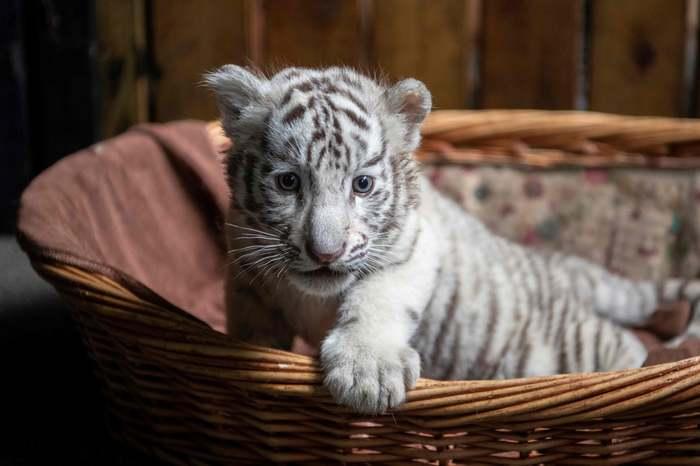 Котейка Тигр, Кот, Зоопарк, Животные, Альбиносы