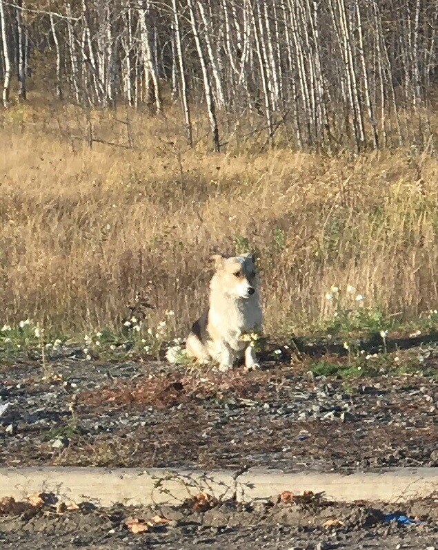 Пёс ждёт своего хозяина в вымершей деревне с конца июля Хатико, Чаны, Новосибирская область, Новосибирск, Заброшенная деревня, НСО, Собаки и люди, Длиннопост, Негатив