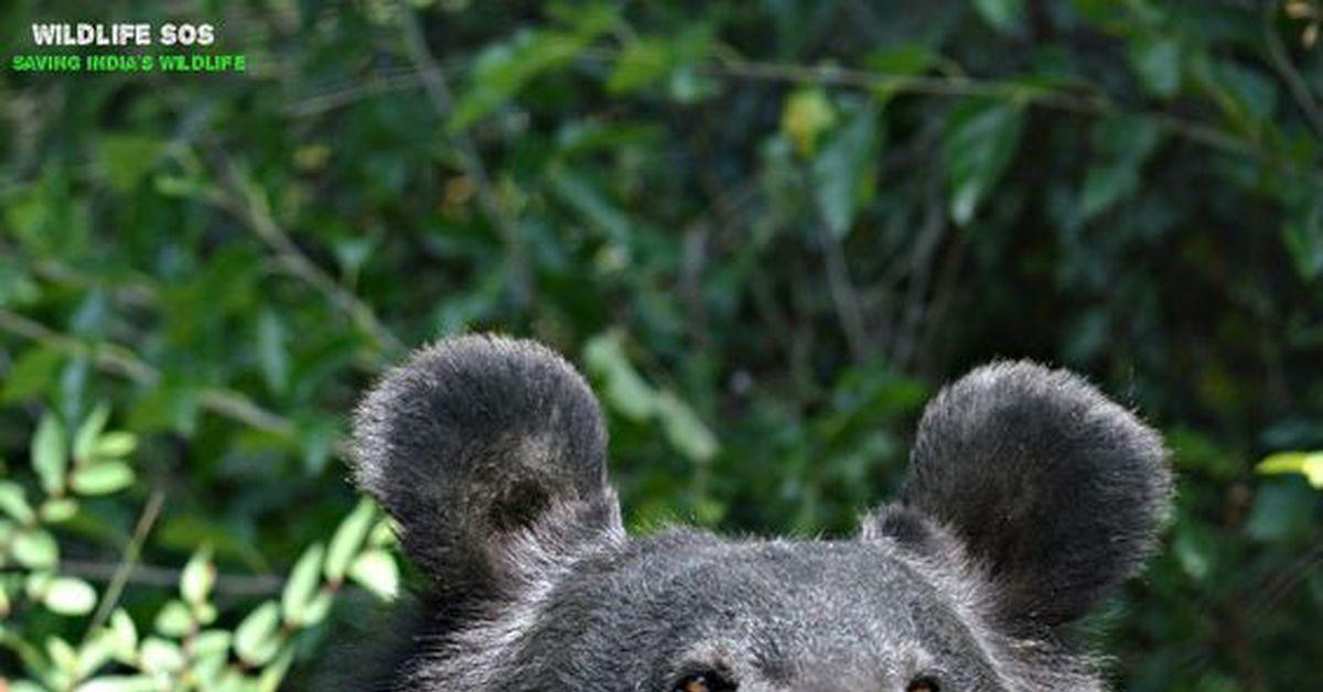 поселиться ухо медведя картинка этом году берем