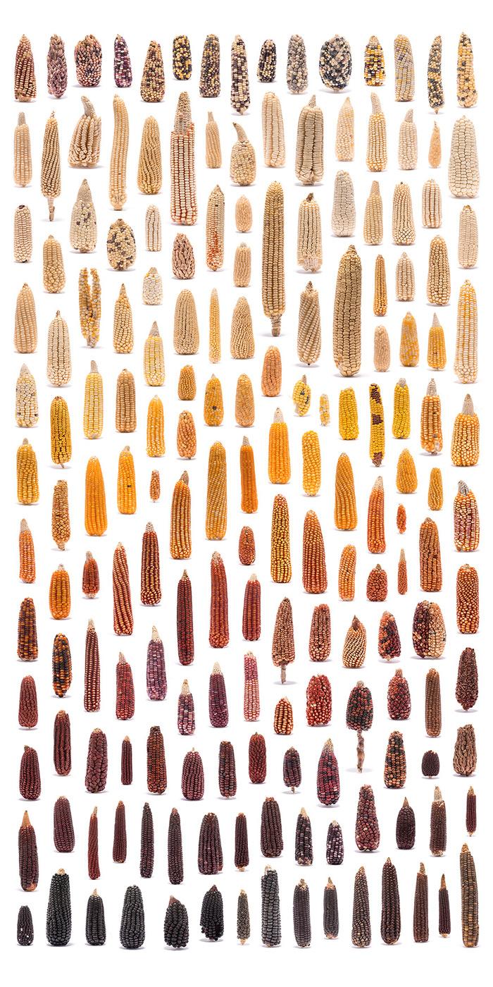 Красота природного разнообразия Сельское хозяйство, Селекция, Фотография, Кукуруза, Огурцы, Тыква, Капуста, Фасоль, Длиннопост