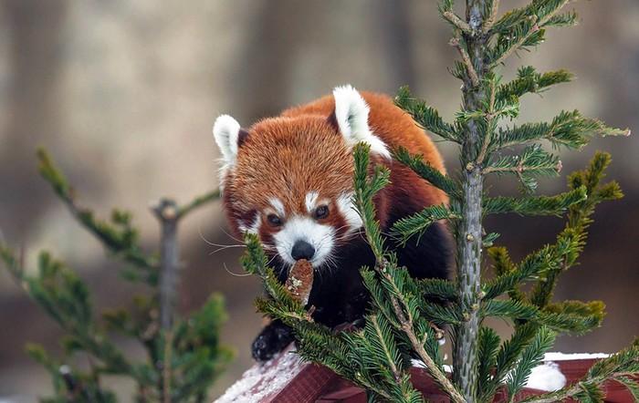 Малая (или красная) панда. Красная панда, Животные, Милота, Снег