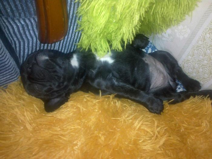 Буля спит, она устала. Французский бульдог, Щенки, Милота, Собака, Фотография, Гифка