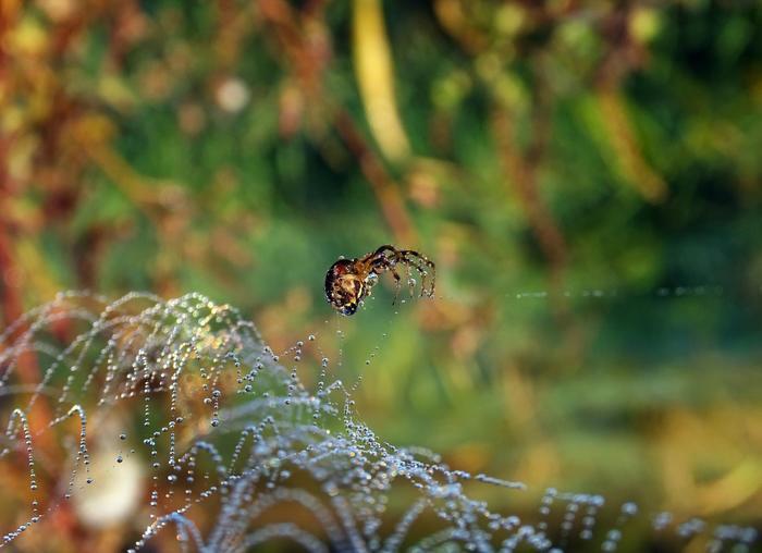 В мире микромира: Мои наблюдения за паучками - часть 2. Макросъемка, Паук, Паутина, Роса, Приморский край, Длиннопост