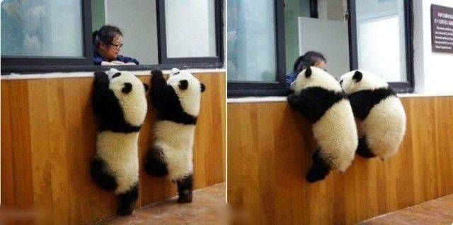 Где наш друг ? отпусти ! Панда, Подтягивание, Любопытство, Синхронность, Женщина