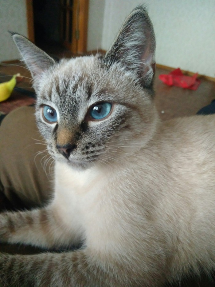 Голубоглазая блондинка жаждет общения Котомафия, Тайская кошка, Голубые глаза, Кот