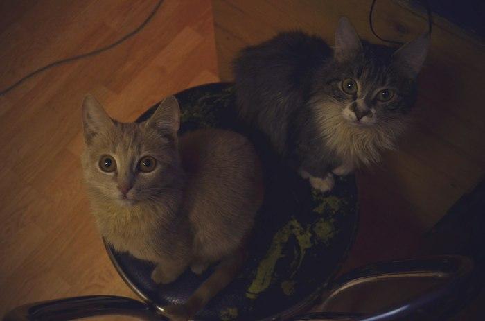 Малиновские котята