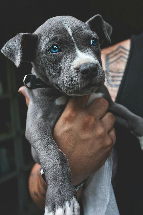 Питбуль с голубыми глазами.