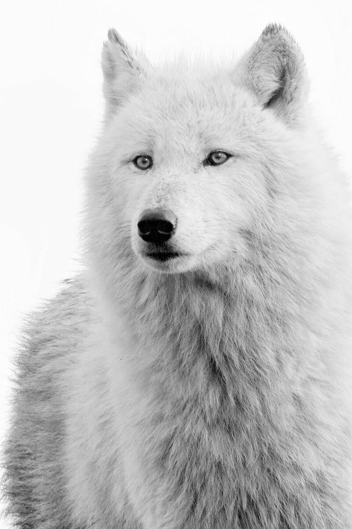 Белый полярный волк.