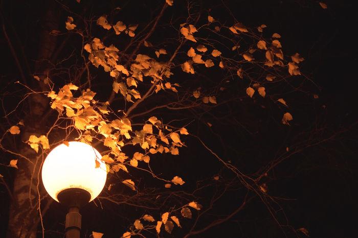 Свет фонарей задерживает опадание листьев Растения, Листья, Фонарь, Физиология растений