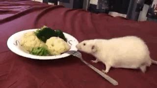 Крысогифки, часть 2 Декоративные крысы, Гифка, Крыса, Животные, Длиннопост