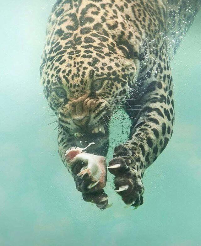 Ягуар нырнул под воду за добычей и стал героем фотошоп-баттлов Ягуар, Рыба, Рыбалка, Подводная охота, Подводная съемка, Фотография, Photoshop, Юмор, Длиннопост