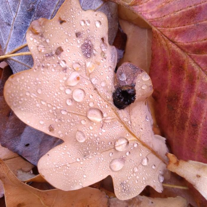 Осенние листья Начинающий фотограф, Листья, Подосиновик, Роса, Осень, Мобильная фотография, Длиннопост