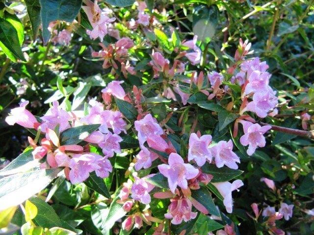 Абелия - уход в домашних условиях, фото Абелия, Комнатные растения, Домашние цветы, Длиннопост