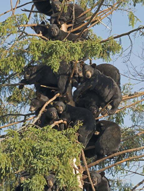 Мишки на дереве