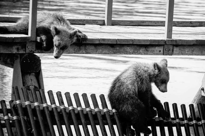 Когда ты приуныл, а твой друг тоже приуныл The National Geographic, Медведь, Детеныш, Уныние, Фотография, Черно-Белое