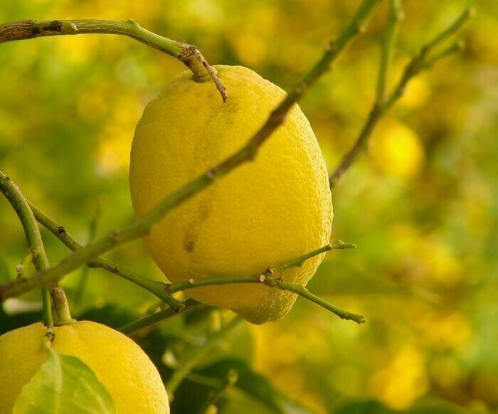 Домашний лимон - условия выращивания в горшке Лимон, Комнатные растения, Домашние цветы, Длиннопост