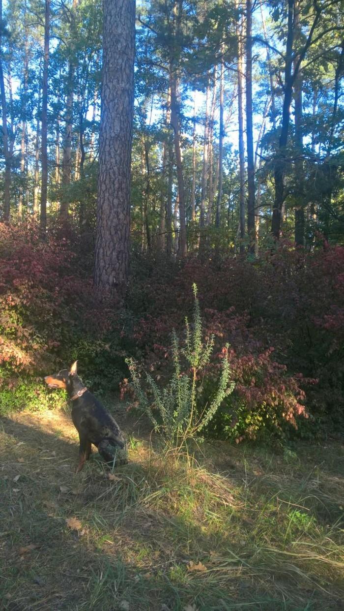 Мой маленький щеночек. Собака, Лес, Доберман, Природа, Осень, Длиннопост