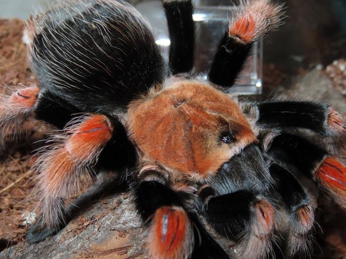 Мои пауки-птицееды. Brachypelma boehmei Валентино Пауки-Птицееды, Паук, Арахнофобия, Питомец, Длиннопост