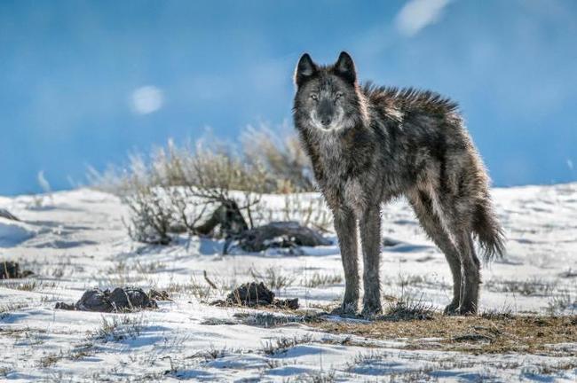 Возвращение волка. Волк, Парк, Хищник