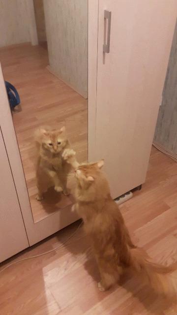 Котик в ленту Кот, Животные, Гифка, Зеркало