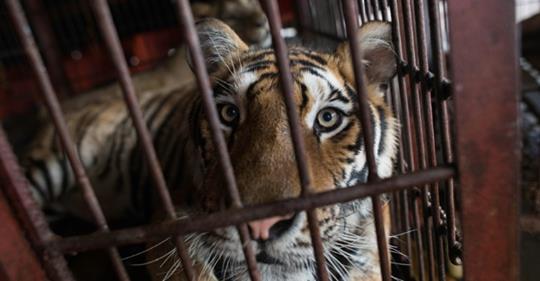 Португалия запретила выступления диких животных в цирке Дикие животные, Португалия, Закон, Запрет