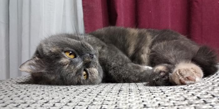 """Мой """"Кот"""" или Женщина - возмущенщина Котомафия, Кот, Кефир, Британцы, Британская короткошерстная, Длиннопост"""