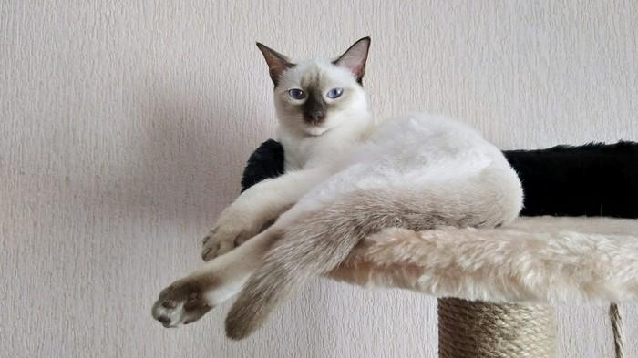 И пусть весь мир подождет Кот, Тайская кошка, Делайла