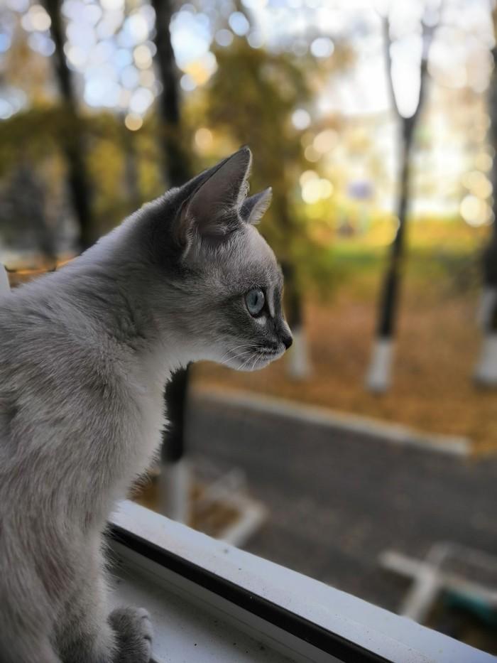 Голубоглазик Осень, Котенок Гав, Тайская кошка, Домашние животные, Кот