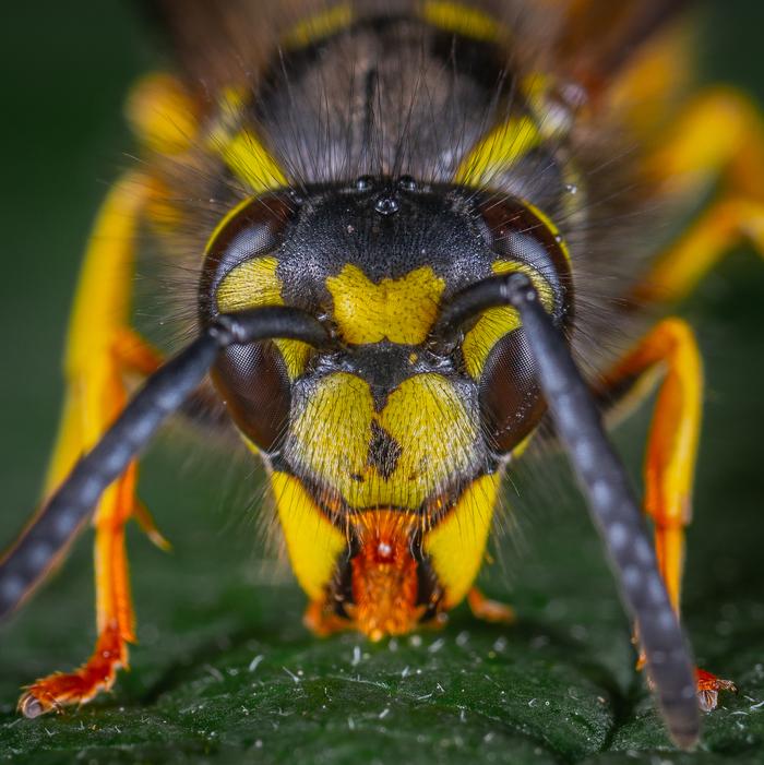 Портрет осы