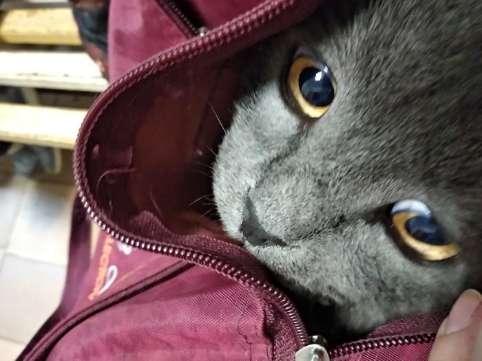 Кот и боррелиоз Клещевой боррелиоз, Ветеринария, Кот, Глаза, Длиннопост
