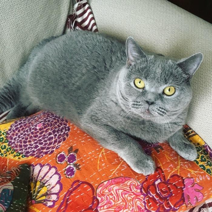 Кошка Британка ищет дом Кот, В добрые руки, Без рейтинга, Британский кот, Москва, Длиннопост