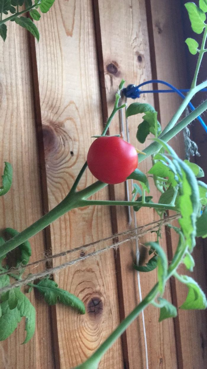 Как у меня дома случайно вырос помидор Помидор, Дом, Растения, Садоводство, Сама, Длиннопост