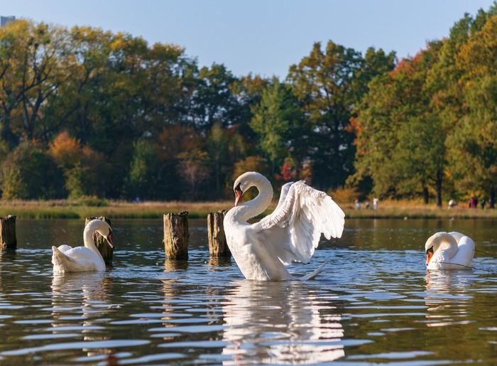 Потягивания и врожденная грация Лебеди, Озеро, Парк, Грация, Изящество и грация, Гелиос44м-7, Lightroom, Природа, Длиннопост