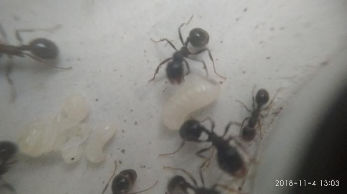 Как поживают мои нагломордые муравьи в формикарии. Мирмикипер, Муравьи, Формикарй, Насекомые, Видео, Длиннопост
