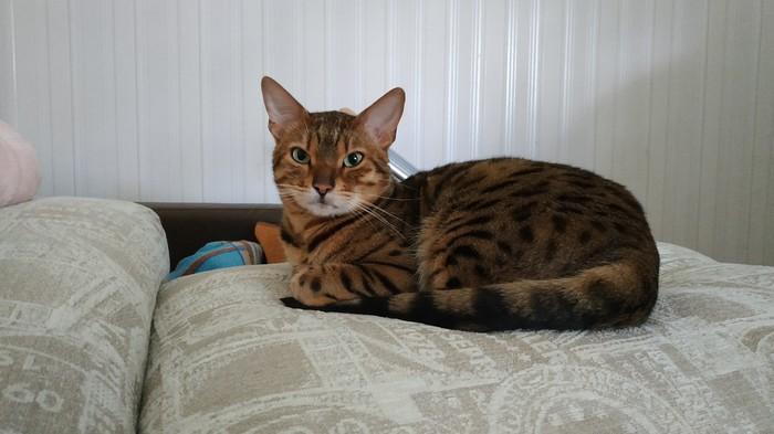 С хитринкой смотрит на своего человека ). Бенгальская кошка, Домашний любимец, Кот