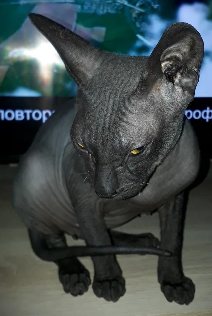 Котик подрос. Котомафия, Донской сфинкс, Марс, Черный кот, Длиннопост
