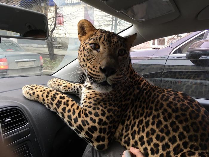 Большую кошку подвезти не желаете? Такси, Яндекс такси, Леопард, Екатеринбург, Длиннопост, Видео