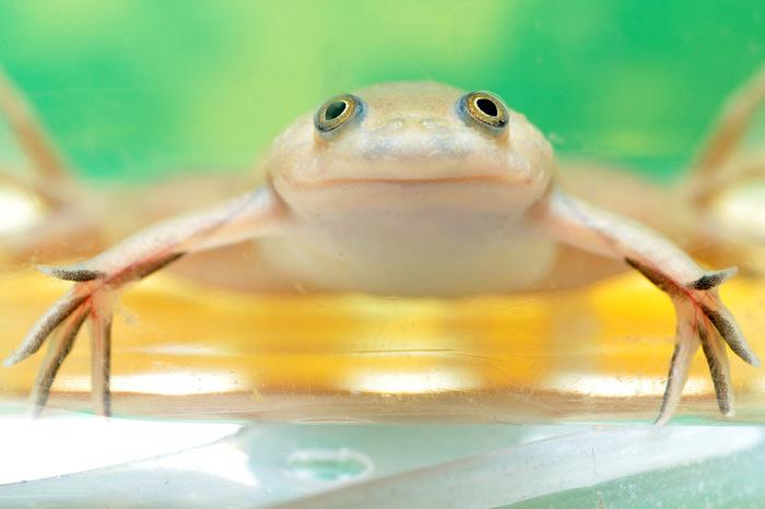 Впервые ученые смогли полностью отрастить конечности взрослой жабке. Наука, Биология, Регенерация, Жаба, Лягушки