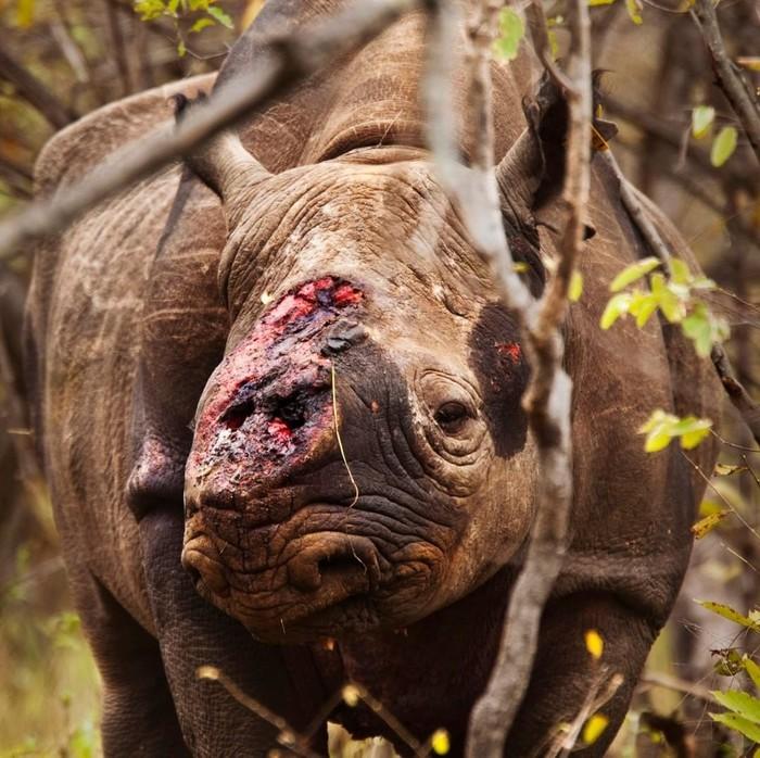 Ещё один черный носорог убит браконьерами в Зимбабве. Животные, Носорог, Браконьеры, Африка, Китай, Жесть, Негатив