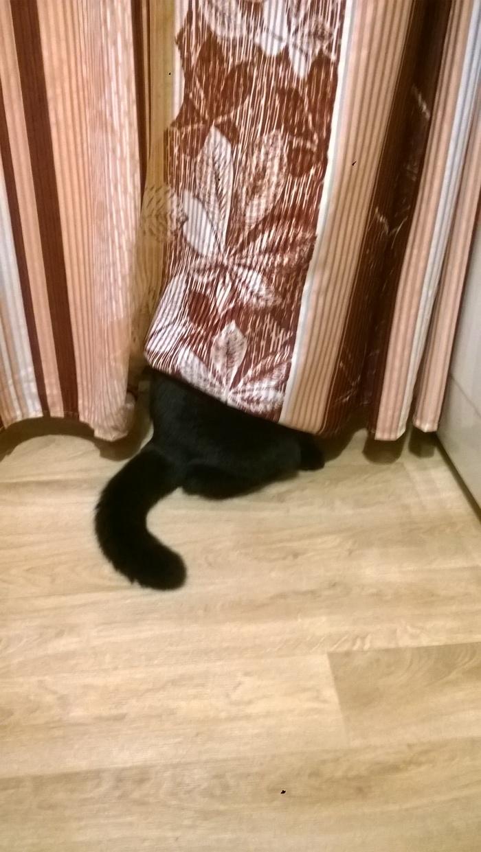 Прятки. Кот, Котомафия, Шотландская вислоухая, Прятки, Длиннопост