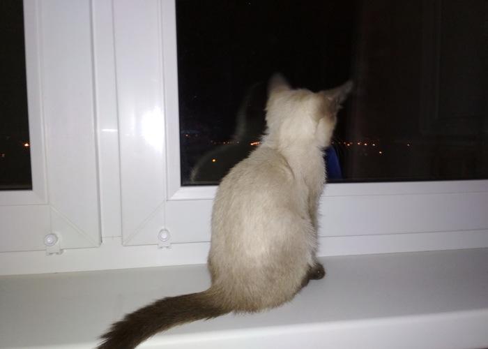 Маленькая демоняка! Кот, Тайская кошка, Длиннопост