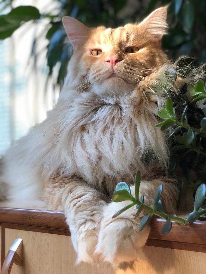 Когда ты кот, но чувствуешь себя львом!!! А иногда и дурнем))) Кот, Мейн-Кун, Длиннопост, Котомафия