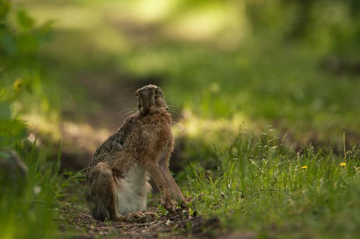 10 советов как встретить зайца Заяц, Природа, Животные, Фотография, Фотоохота