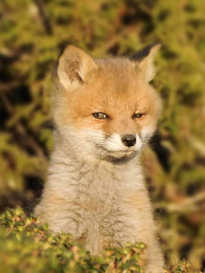Маленькая лисяка-подозревака ^.^ Лиса, Подозрительно, Милота, Животные, Фотография