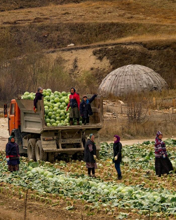 Сбор капусты в Левашинском районе, республика Дагестан. Труд Дагестанских женщин!