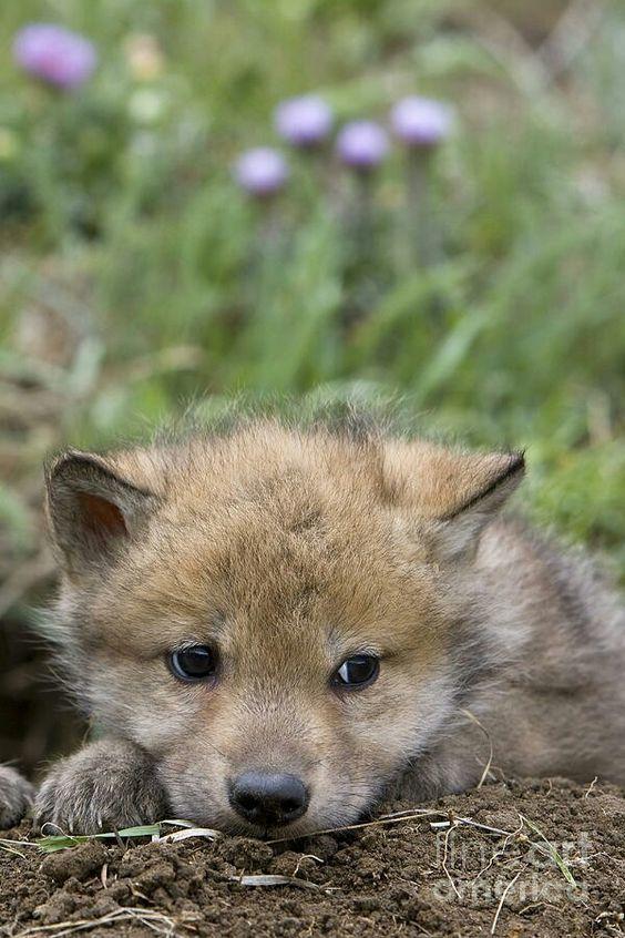 Когда же я вырасту и стану шерстяным волчарой...
